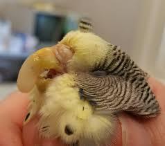 acrylic beak repair bird vet bird vet melbourne