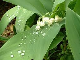 Lily Of The Valley Flower Growing Lily Of The Valley Thriftyfun