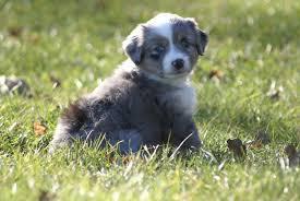 c me australian shepherds kicks and giggles mini aussies quailty breeder of miniature and