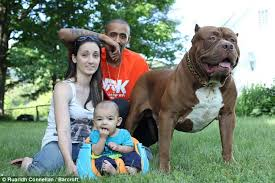 american pitbull terrier in india owners of the world u0027s biggest pitbull allow the dog to look after