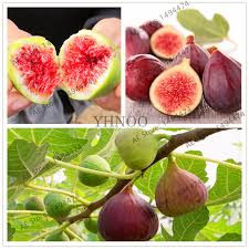 Fig Flower - online buy wholesale fig tree plants from china fig tree plants
