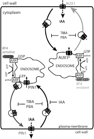 subcellular trafficking of the arabidopsis auxin influx carrier