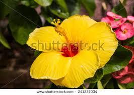 Yellow Hibiscus Flowers - closeup yellow hibiscus rosasinensis flower stock photo 57047677