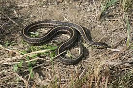 snakes of iowa