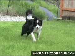 australian shepherd gif view topic stray dog rp not accepting chicken smoothie