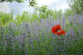 Bluebeard Flower - bluebeard and red poppies plus other plant combinations from the