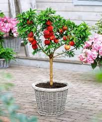 bonanza patio peach tree peach trees dwarf and peach