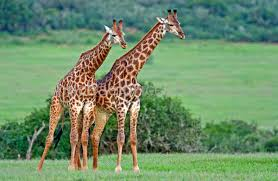 fun giraffes facts for kids