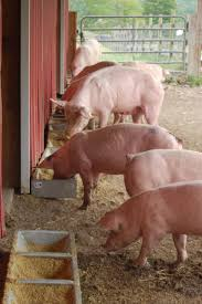 animal frontiers feature articles swine convert co products from