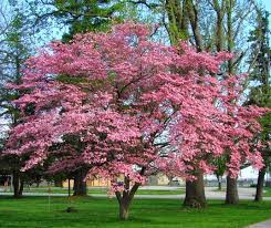 Pink Spring Flowering Shrubs - a st louis realtor u0027s adventures tips and finds name those