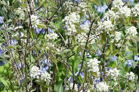 White Flowering Shrub - colorful shrubs focus on flowers indiana public media