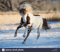 black mustang horse wild pinto mustang stallion running in snow black hills wild