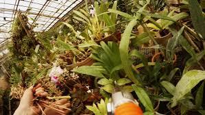 close up pan diagonal through marijuana plants growing indoor