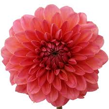 dahlias flowers dahlia flower