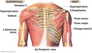 Anatomy Of The Shoulder Girdle Chinese Martial Arts Power Stretching