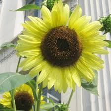 peaceful valley organic sunflower seeds