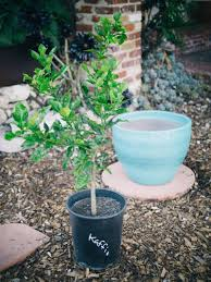 how to grow a citrus tree in a container apartment therapy