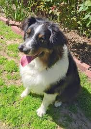 australian shepherd 3d shirt venice beach freakshow owner adopts unwanted dog toby with two