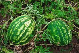 Growing Melons On A Trellis How To Plant And Grow Watermelon
