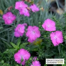 dianthus flower firewitch garden pinks dianthus firewitch high country gardens