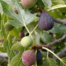 Fig Flower - celestial fig tree for sale fast growing trees com