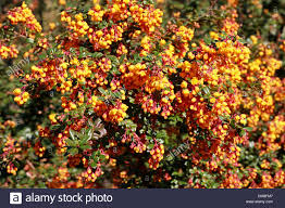 barberry stock photos u0026 barberry stock images alamy