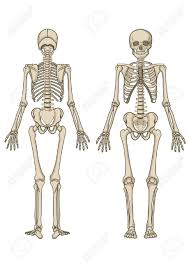 bones clipart anatomy and physiology china cps
