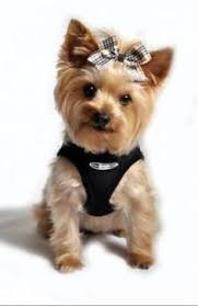 hair accessories for yorkie poos short haircut yorkie pinterest short haircuts haircuts and