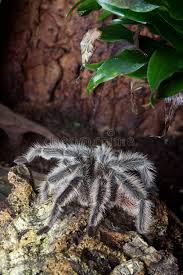 big tarantula royalty free stock photos image 38219038