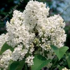 ornamental garden lilac trees to buy as a tree gift from uk tree