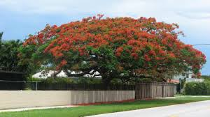 large royal poinciana tree in the yard eye catching ornamental