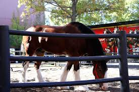 Budweiser Clydesdale Barn Life With A Bq The Budweiser Clydesdales Oh My