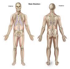 Anatomy Of Human Body Bones Human Anatomy Bones Body Bones Of The Human Body Human Anatomy