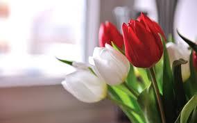 wallpaper bunga tulip bunga tulip merah putih hd wallpaper desktop lebar definisi tinggi