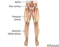 Foot Vascular Anatomy Peripheral Artery Disease Legs