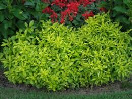 buy ornamental plants alternanthera leafy ornamentals photo