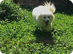 american eskimo dog breeders new england american eskimo dog dog portrait pinterest dog finder
