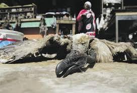 Seeking Vulture Seeking Instant Riches South Africans Smoke Vulture Brains