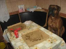 boxer dog youtube oscar boxer dog love to eat pizza funny youtube