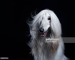 afghan hound ireland afghan dog stock photos and pictures getty images