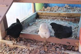 using wood ash with chickens small house big sky homestead