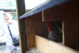 backyard hens chicken coops on the rise in gainesville u2013 wuft news