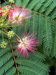 mimosa trees this is what mimosa tree leaves loo