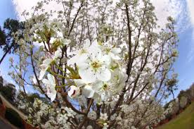 myreporter why the bradford pear trees been so much more