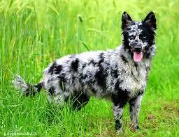 h cross australian shepherds mudi u2013 like australian shepherds but fluffier they might look