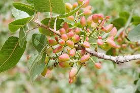 pistachio garden in delight