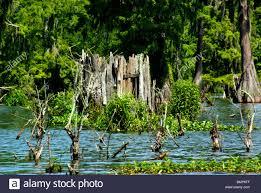 Natural Hunting Blinds Lake Martin Wildlife Sanctuary Louisiana Duck Hunting Blind Stock