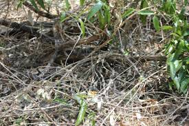 there u0027s a snake hiding beneath these twigs but can you spot the