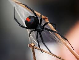spiders black widow spider and redback spider