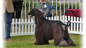 afghan hound judging list palamedees afghan hounds photography